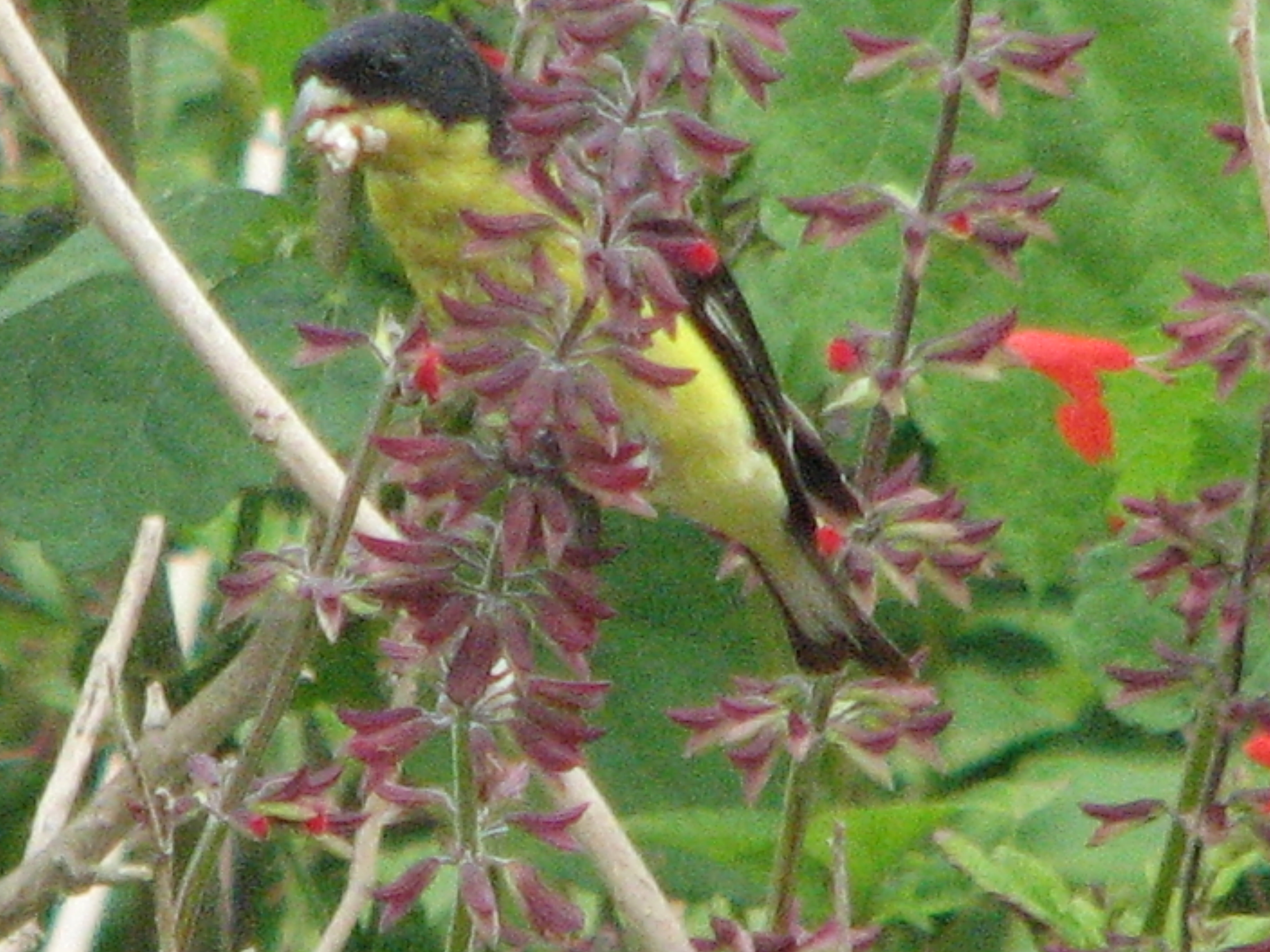 Lesser Goldfinch on Tropical Sage