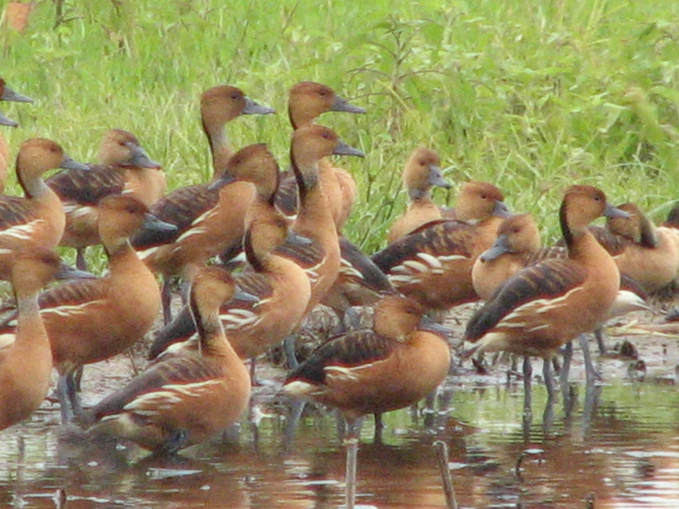 Fulvous Whistling-Ducks