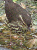 waterthrush.jpg