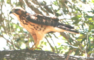 broadwinged hawk.jpg