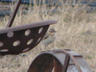 wheatear on a tractor